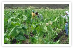 Tobacco Growing Fields